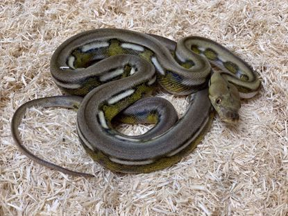 Picture of Jay's Pick Male Super Tiger Reticulated Python